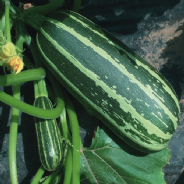 Marrow F1 Bush Baby - 10 seeds - Vegetable